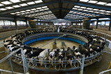 Rotary Milking Parlour on a Modern UK Dairy Farm